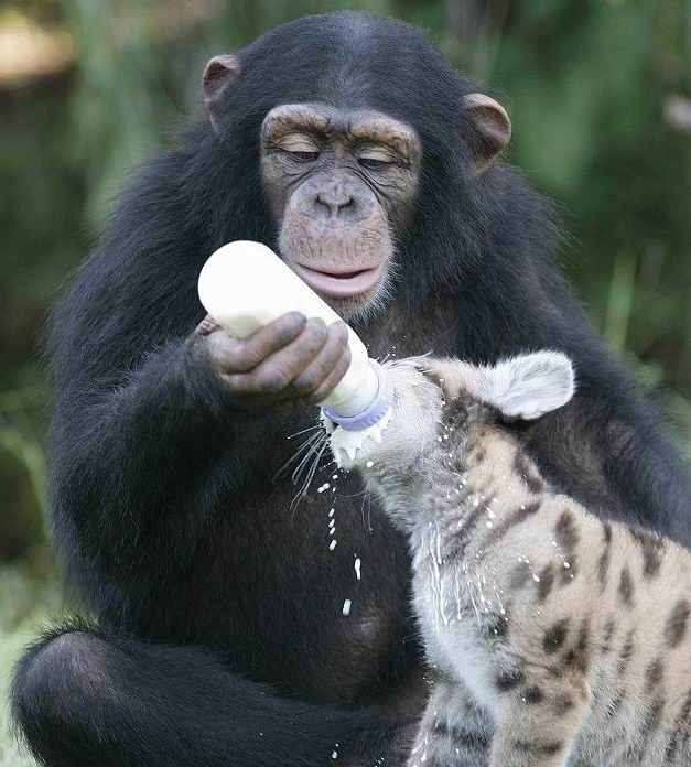 chimp_feeding_puma_02