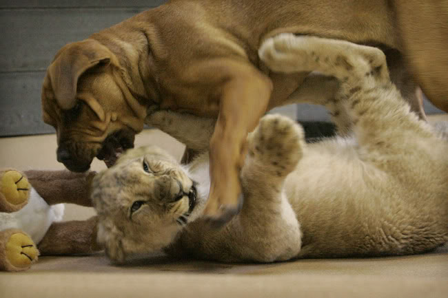 puppy_vs_lion